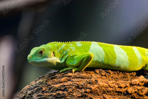 the closeup image of Fiji banded iguana (Brachylophus fasciatus)  An arboreal species of lizard endemic to some of the southeastern Fijian islands Canvas Print