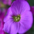 canvas print picture - Close-up Of Purple Flower