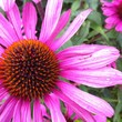 canvas print picture - Close-up Of Eastern Purple Coneflower Blooming In Park