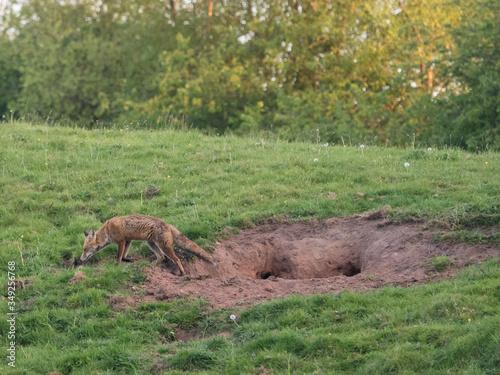 Side View Of Fox Walking On Grassy Field