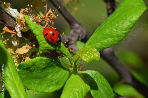 Lady Bug On Leaves Canvas