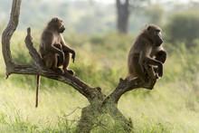 Babouin Chacma, Papio Ursinus , Chacma Baboon, Parc National Kruger, Afrique Du Sud