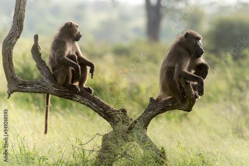 Babouin chacma, Papio ursinus , chacma baboon, Parc national Kruger, Afrique du Canvas Print