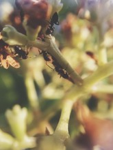 Close-up Of Ants On Flower Bud