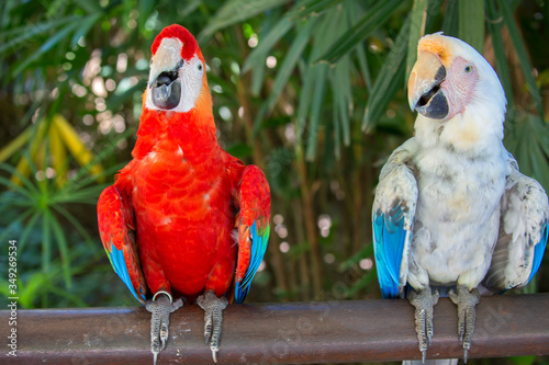 The pair of macaw parrots ( albino and red) Canvas-taulu