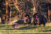 Wild Turkeys - Meleagris Gallo...