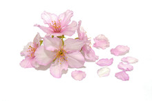Japanese Cherry Blossom And Pe...