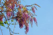Spring Flowers. Blooming Wiste...