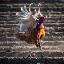 Dancing Pheasant