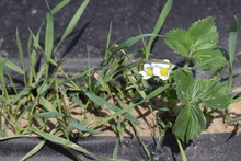 Elymus Repens Couch Grass , Twitch In Strawberry Crop