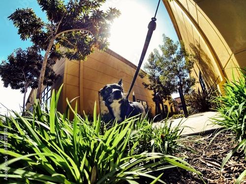 Fotografiet Dog Tied In Backyard