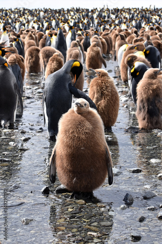 Fototapety, obrazy: Baby King penguin at Gold Harbour, South Georgia Island