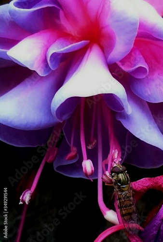 Fotografie, Obraz Close-up Of Hoverfly On Fuchsia Blooming Outdoors