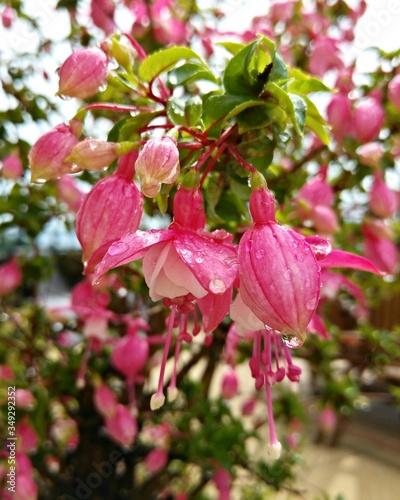 Fotografia Pink Fuchsias Blooming In Lawn