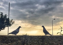 Pigeons On Wall At Dusk