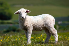 A Lamb In The Spring Sunshine,...
