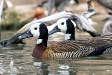 White-faced Whistling Duck (De...
