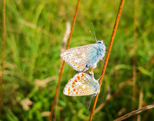 Two Blue And Orange Butterflies Matting On A Plant Stem