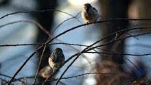 House Sparrow In Spring In A P...