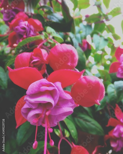 Obraz na płótnie Close-up Of Fuchsias Blooming In Park