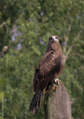 фотография Wild kite monitors prey