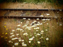 Daisy Flowers Blooming In Field Against Railroad Track