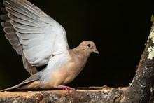 Profile Of A Mourning Dove Per...