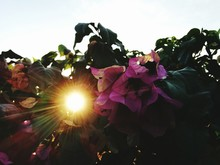Low Angle View Of Bougainvillea Growing Against Sky
