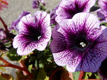 Close-up Of Purple Petunias Blooming Outdoors