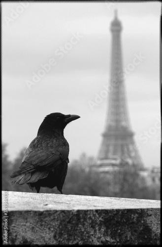 Obraz na plátně Close-up Of Raven Against Eiffel Tower