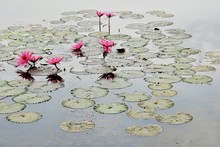 Pink Water Lilies Amidst Lily Pads Floating On Pond