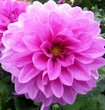 canvas print picture - Close-up Of Pink Dahlia Blooming On Field