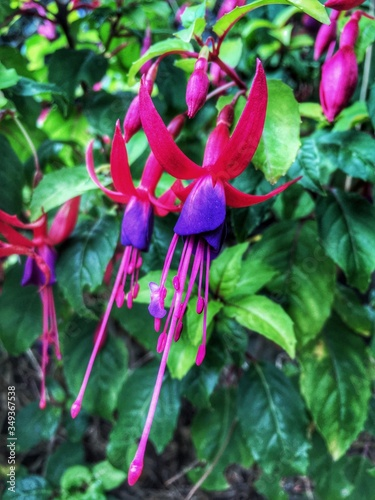 Obraz na płótnie Close-up Of Fuchsias Blooming Outdoors