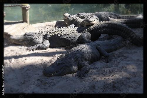 Alligators Relaxing In Zoo Canvas Print