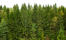 Summer Green Pine Forest On The Horizon Is Isolated. The Edge Of A Forest With Coniferous Trees, Natural Background.
