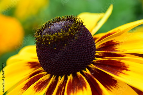 Fotografering Close up of a Blackeyed Susan flower