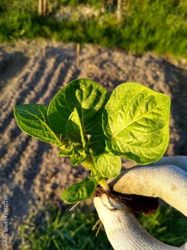 Obraz Młody ziemniak. Eko uprawa  - fototapety do salonu