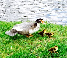 Duck With Ducklings On Riverbank