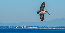 Brown Pelican (Pelecanus Occid...