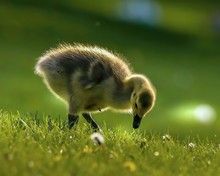 Young Gosling Feeding In The G...