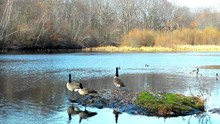Canada Geese On Rock Over Lake