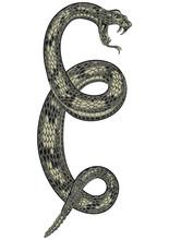 Coiled Rattlesnake Drawing, Vi...