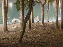 Pelicans Resting At Riverbank Amidst Trees
