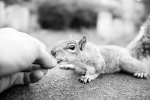 Cropped Hand Of Person Feeding Squirrel On Rock