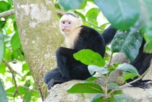 Low Angle View Of Spider Monkey On Branch