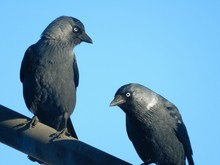 Close-up Of Two Crows Perching...