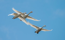 Three White Swans Fly Against ...
