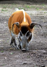 Close-up Of Red River Hog In Forest