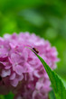 canvas print picture - ladybug on green leaf