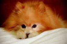 Portrait Of Pomeranian Dog Sleeping On Pillow